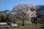 水目桜.jpg